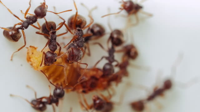 Ants eating insect