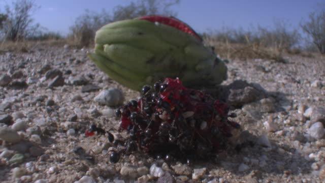 stockvideo's en b-roll-footage met ants feed on saguaro cactus fruit, arizona, usa - foerageren