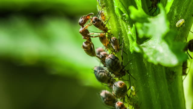 ants milking aphids - symbiosis - nettle stock videos & royalty-free footage