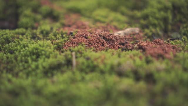vídeos y material grabado en eventos de stock de las hormigas anidan en bosque. - musgo flora