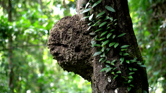 Ant's nest on tree in tropical rainforest, Thailand.