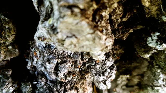 stockvideo's en b-roll-footage met mieren op boomschors - voelspriet