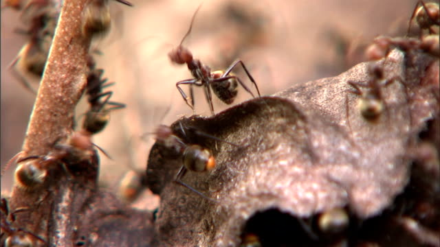 ants scurry all over a dead tree. - ant stock videos & royalty-free footage