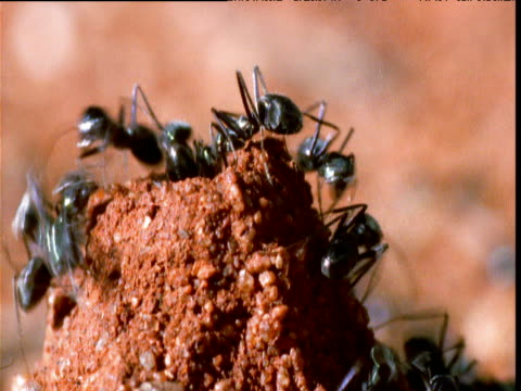 ants swarm in and out of nest entrance, yuendumu, northern territory, australia - animal nest stock videos and b-roll footage