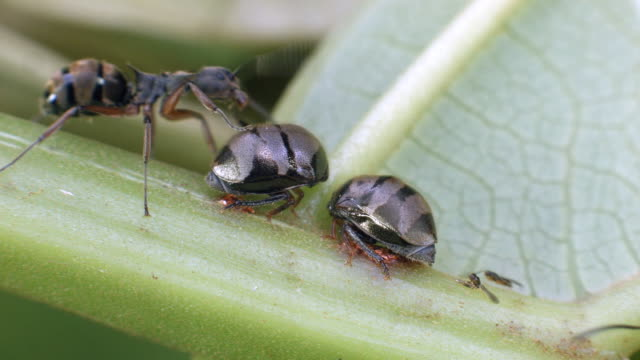 vídeos de stock e filmes b-roll de ants tending treehoppers on the underside of a leaf - parasita