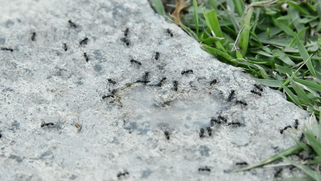 ants walking on the floor - animal abdomen stock videos and b-roll footage