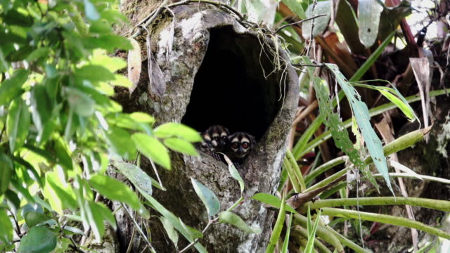 aotus vociferans in the tree hole - mammal stock videos & royalty-free footage