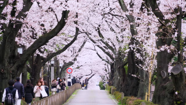 aoyama cemetery is a cemetery in aoyama, minato-ku tokyo, japan, which is managed by the tokyo metropolitan government. the cemetery is also famous... - cherry blossom stock videos & royalty-free footage