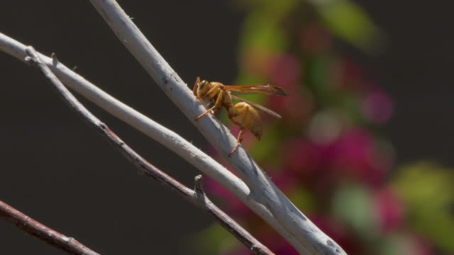 apache wasp gathering fiber for its nest, side view 4k video - sonoran desert stock videos & royalty-free footage