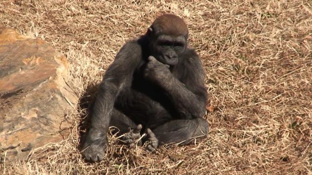 menschenaffe baby - gorilla stock-videos und b-roll-filmmaterial