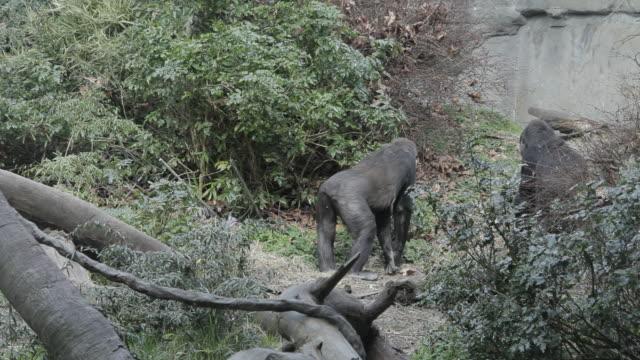 apes exploring zoo exhibit - 動物園点の映像素材/bロール