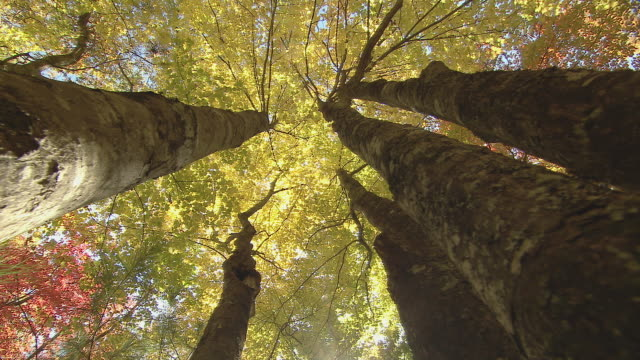 apex view of trees with a canopy of bright fall color. - tree canopy stock videos and b-roll footage