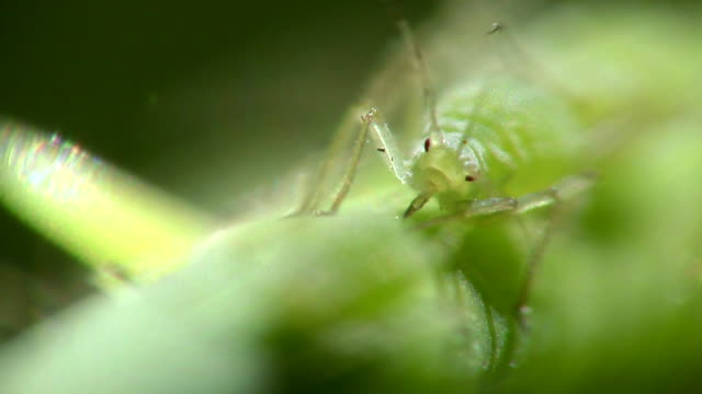 ecu aphid feeding on plant stem / long beach, california, usa - animal antenna stock videos & royalty-free footage