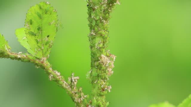 aphid - lebenszyklus stock-videos und b-roll-filmmaterial