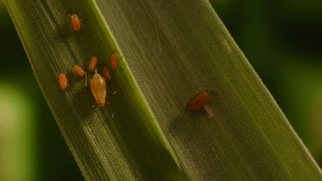 t/l aphids (superfamily aphidoidea) on wheat eaten by spider, mid shot take 2, uk - skadedjur bildbanksvideor och videomaterial från bakom kulisserna