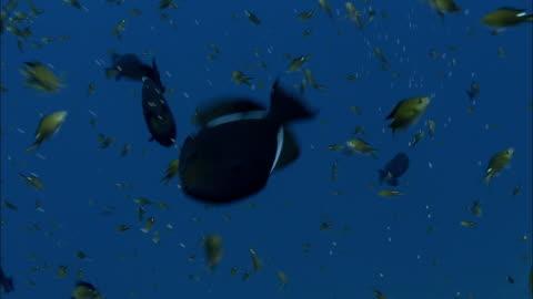 apollo damselfish (chromis multilineata) and black triggerfish (melichthys niger), ascension island - damselfish stock videos & royalty-free footage