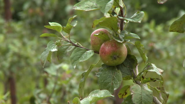 apple and branch blowing in wind - grove stock videos & royalty-free footage