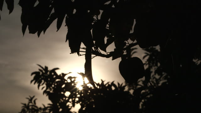apple and leaves silhouette - wiese stock videos & royalty-free footage