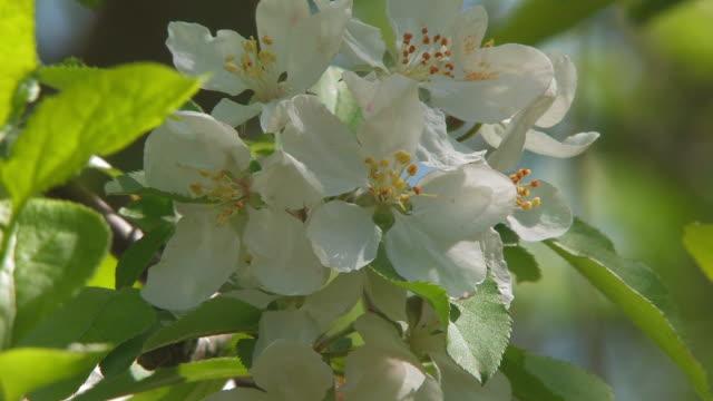 apple bloom zwei hd-bis 30 - staubblatt stock-videos und b-roll-filmmaterial