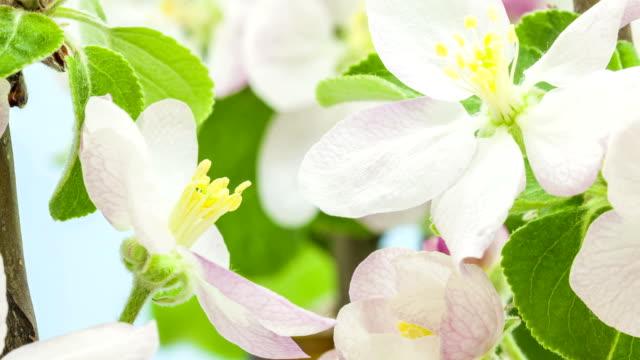 vídeos y material grabado en eventos de stock de flor de manzano en fondo azul - pistilo