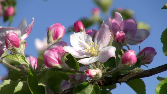 cu apple blossom and flowering apple trees (malus) / merzkirchen, rhineland-palatinate, germany - flower head stock videos & royalty-free footage