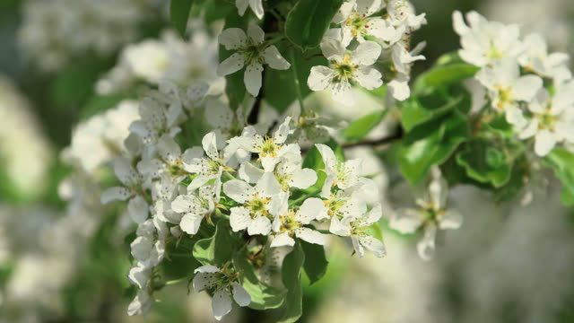 CU Apple blossom and flowering apple trees (Malus) / Merzkirchen, Rhineland-Palatinate, Germany