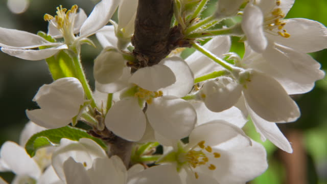 tl apple blossom flowers open in spring, uk - image focus technique stock videos & royalty-free footage