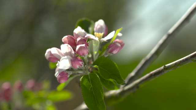 apple blossom in cider orchard, uk - stem stock videos & royalty-free footage
