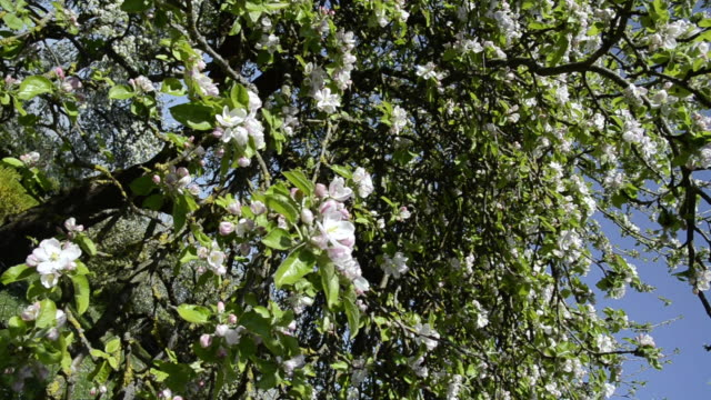 ms ds apple blossom in flowering orchard / landshut, bavaria, germany - orchard stock videos and b-roll footage