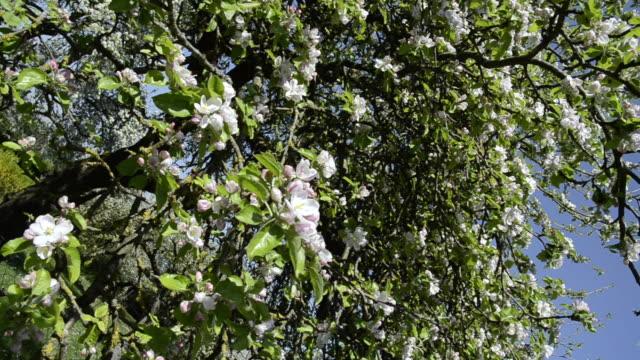 MS DS Apple blossom in flowering orchard / Landshut, Bavaria, Germany