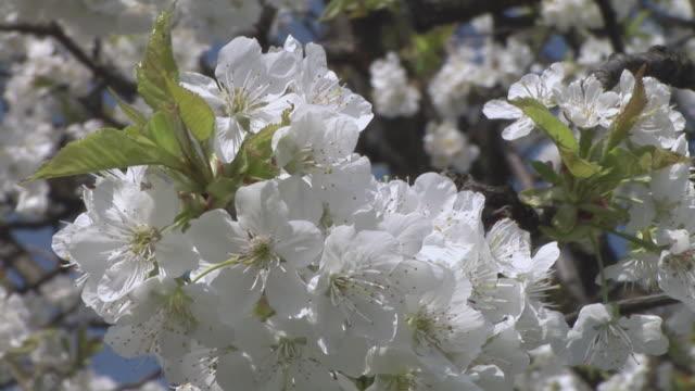 CU, ZO, Apple blossom, Ljubljansko barje, Slovenia