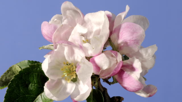 apple blossom opening and withering - decay stock videos & royalty-free footage