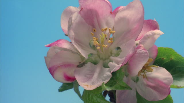 t/l, cu, apple blossom opening and withering - decay stock videos & royalty-free footage