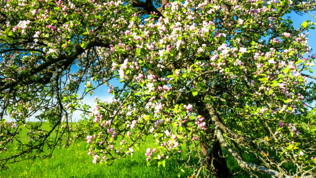 crane down: apple blossom - crane shot stock videos and b-roll footage