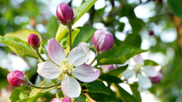 hd dolly: apple blossom - kvist bildbanksvideor och videomaterial från bakom kulisserna
