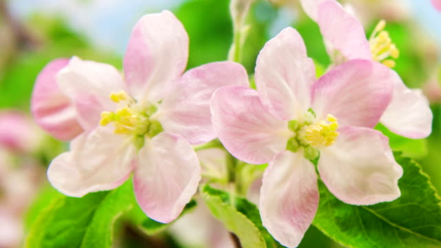 vídeos y material grabado en eventos de stock de flor de manzano - pistilo