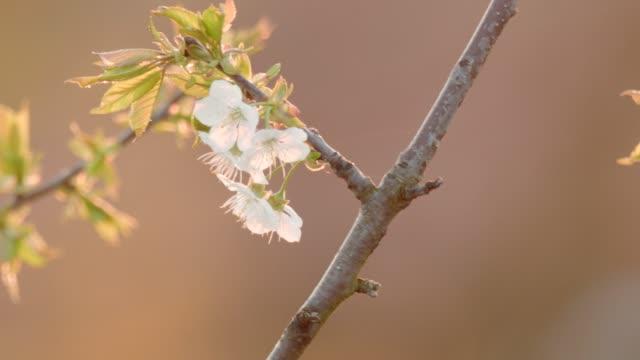 Apfelblüten im Frühling bei Sonnenuntergang