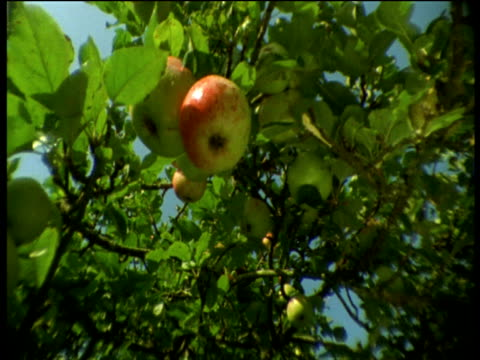 Apple falls from tree, Devon