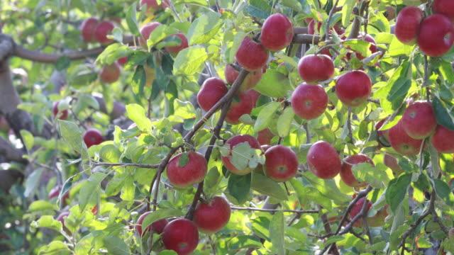 apple fields in france  - july, domaine de la garelle - wide angle shot - apple tree stock videos & royalty-free footage