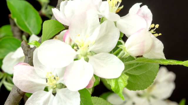 Apple flower timelapse growing and blossoming in two axis 4K time lapse motion against black background