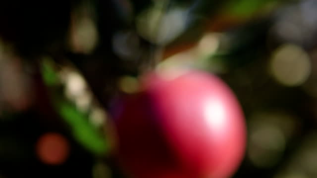 apple growing on tree - poland stock videos and b-roll footage