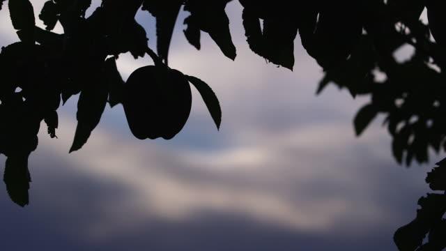 apple hanging on tree silhouette w sky - wiese stock videos & royalty-free footage