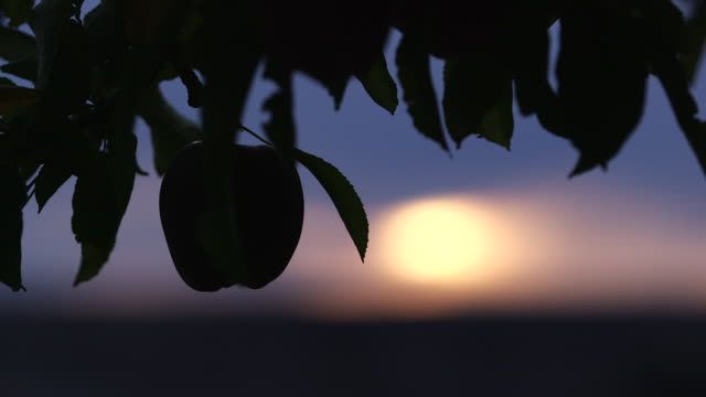 apple hanging on tree silhouette w sun shallow dof - wiese stock videos & royalty-free footage