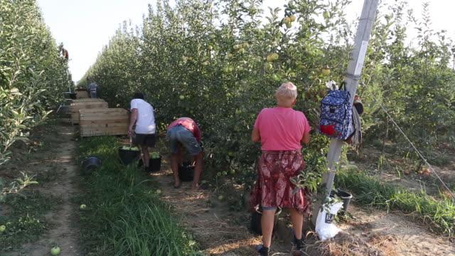 vídeos y material grabado en eventos de stock de apple harvesting and fruit packing plant on a farm operated by yuzhnye zemli ooo part of afg national group in merchanskoye village krasnodar krai... - árbol de hoja caduca