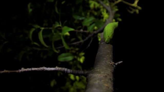 apple hawkmoth larva moving along tree branch, gangwon province, south korea - branch stock videos & royalty-free footage