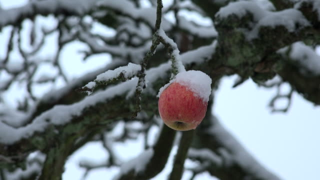 Apple on a apple tree in winter