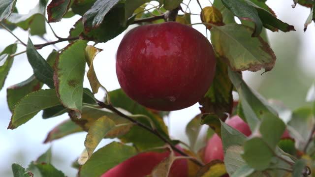cu apple on branch - wiese video stock e b–roll