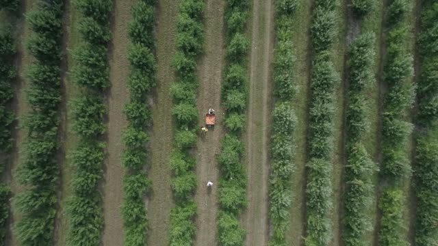 apple orchard aerial bird'seye view - lavoratore emigrante video stock e b–roll