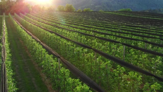 apple orchard at sunset - apple orchard stock videos & royalty-free footage