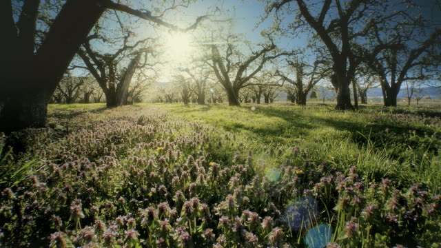 vídeos de stock, filmes e b-roll de apple orchard blossoming at dawn - pomar